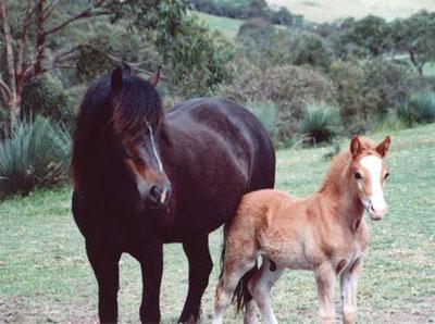 Welsh_Rain___foal_04.jpg